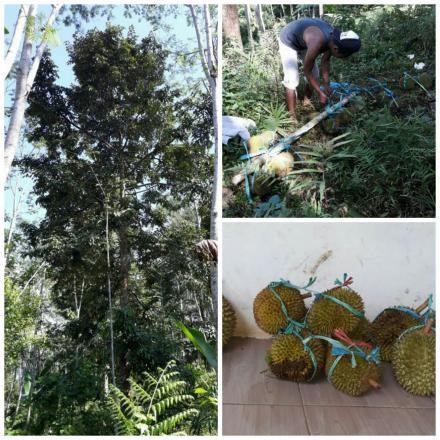 Wisata Durian